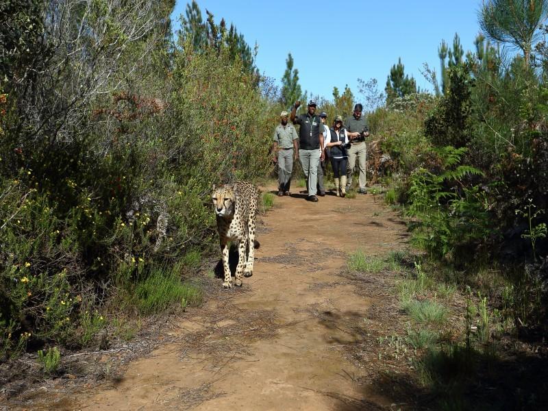 Cheetah Combo, Plettenberg Bay